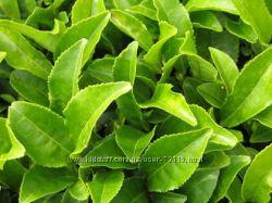 Уходовая пудра с Зеленым Чаем - Green Tea Overnight Skin Rejuvenation