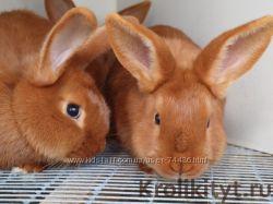 Продаются кролики Великаны 1. 5-3 мес.