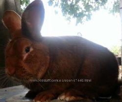 Новозеландский красный - НЗК кролики
