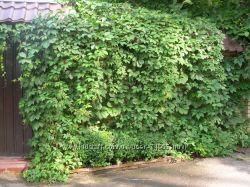 Многолетние лианы дикого девичьего винограда со своего сада 50 см