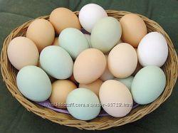 Домашние яйца куриные