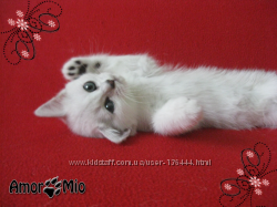 Котята британские окраса серебристая шиншилла