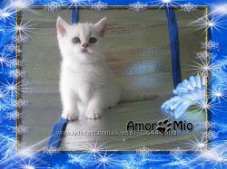 Элитные котята Серебристая Шиншилла