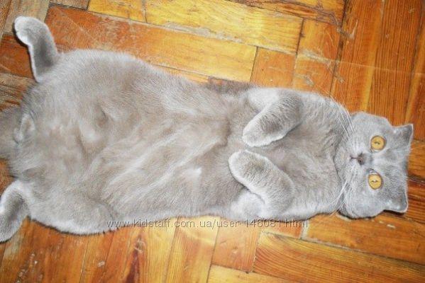 Во сколько можно вязать кошку шотландскую