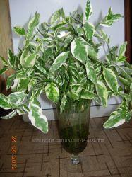 Предлагаю красивое комнатное растение Педилантус