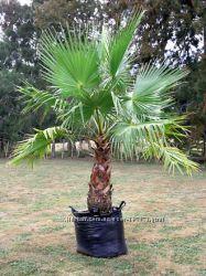 Пальма и семена Пальмы Вашингтония