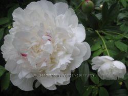 Травянистые пионы - розовые и белые