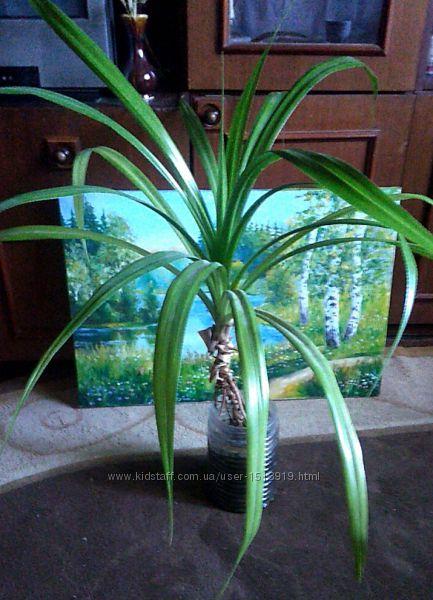 Продам пандаус цветок пальма