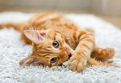 Домашняя передержка котов, кошек.