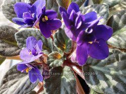 Цветок фиалка цветущая сейчас  Цвет фиолетовый, махровая. На подарок.