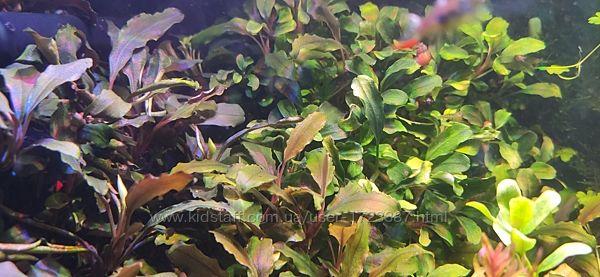 Анубиас и Буцефаландра Ароидные водные растения