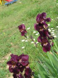 Ирис темно-фиолетовый германика сортовой